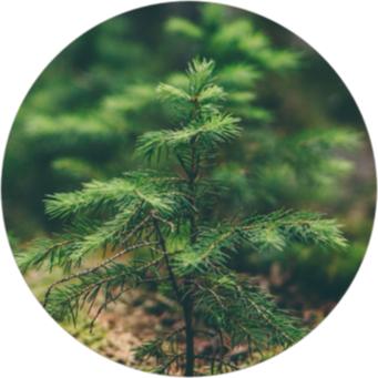Trädplanta i skogen